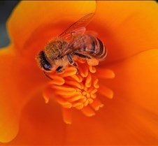 Bees & Poppies 9