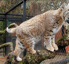 102304 Bobcat Rufus 112