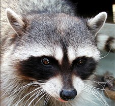 072402Raccoon Ruby 108