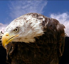 102903 Bald Eagle Defiance 89b