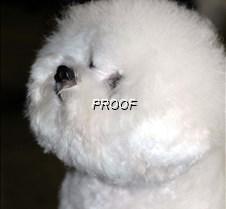Bichon Frise5