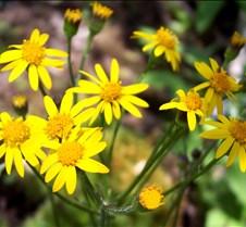 goldenragwort