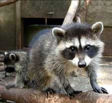 072402 Raccoon Juveniles 122 MK