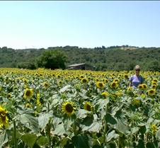 Tuscan Sunflowers and Barn