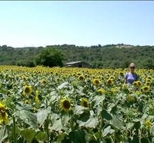 Tuscan Sunflowers and Barn