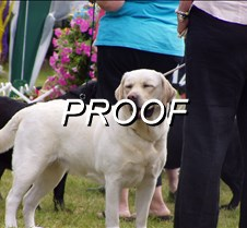 Dog Show Yellow Labrador Retriever