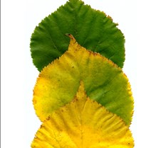leaves_3greenyellow