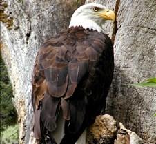 090303 Bald Eagle 47m