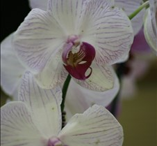 Big Island Orchid Varieties 8