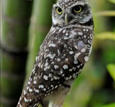 Hooters my owl in my yard