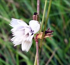 floridalettuce