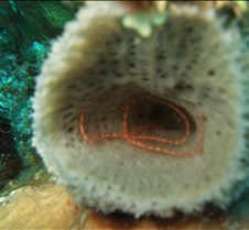 A brittle star inside the sponge