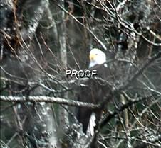eagle-tree-23