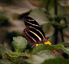 Bug Fair stripe Butterfly 2