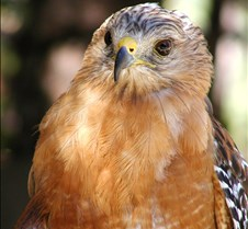 091703 Red Shouldered Hawk 171