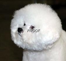 Bichon Frise3