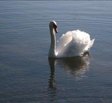 a lone swan 2
