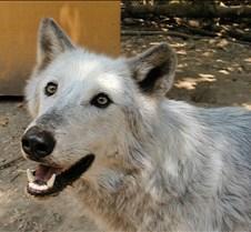 072402 Timber Wolf Tsar 94