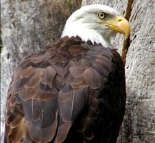 090303 Bald Eagle 46