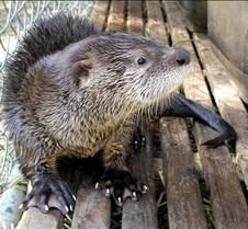 062602 River Otter Juvenile 26