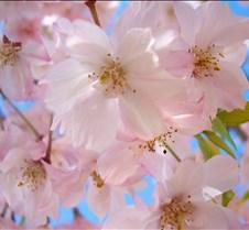 pinkfloweringtree2