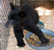 072503 Black Bear Cub 10
