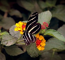 Bug Fair stripe Butterfly 3