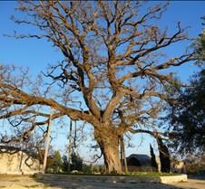 Really Old Tree