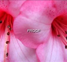 Pink azaleas closeup