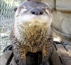062602 River Otter Juvenile 25