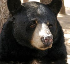 092204 Black Bear BB 36