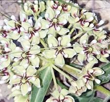 Antelopehorn milkweed