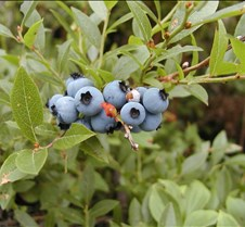 Wild Maine blueberries