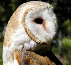 031504 Barn Owl Petrie 71