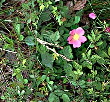Mountain WILD ROSE