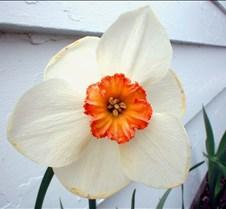 Leaning Daffodil
