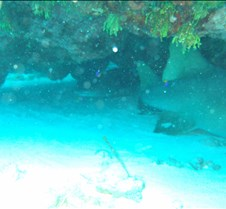 Two reef sharks
