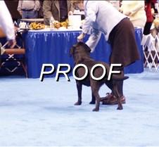 Dog Show Black Labrador