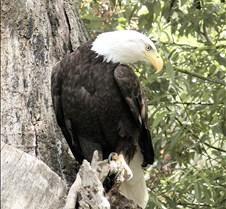 062802 Bald Eagle 27