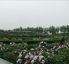 Luoyang peony festival, Henan luoyang peony festival