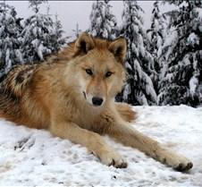 010204 Wolves Spirit 66b
