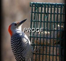 031-1  Woodpecker