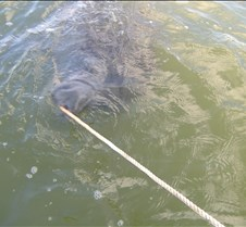 Manatee playing with our anchor rope!