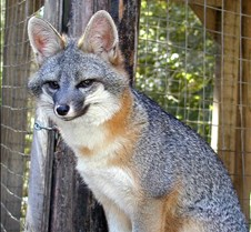 101703 Gray Fox Merry 175