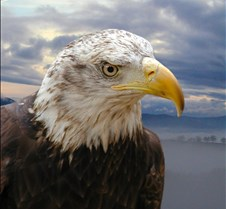 102903 Bald Eagle Defiance 51b