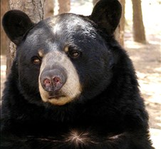 092204 Black Bear BB 32