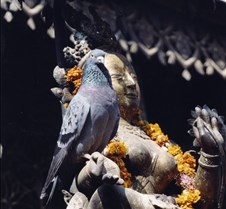 Nepal - pigeon1_1
