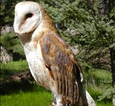 031504 Barn Owl Petrie 86