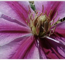 Pink Clemantis