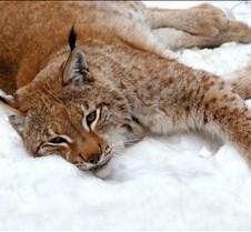 010204 Eurasian Lynx Nikki 109